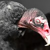Adult Turkey Vulture