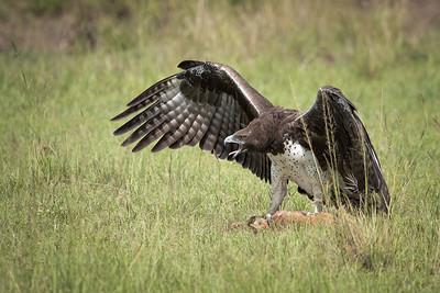 Martial Eagle Kill