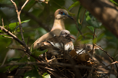 Nesting Morning Dove
