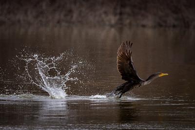 Cormorant Lift Off