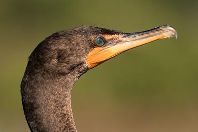 Cormorant Closeup