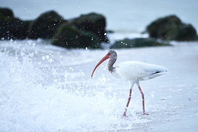 Beach Ibis