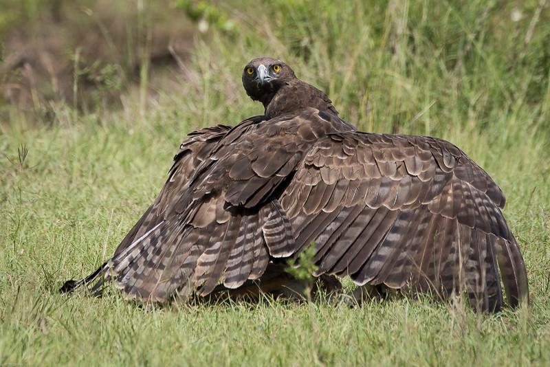 Martial Eagle Attack  Cover