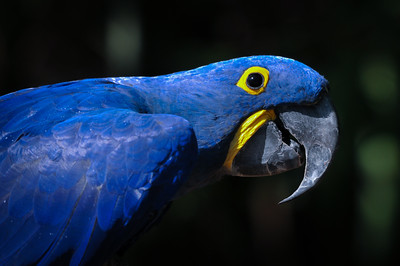 Hyacinth Macaw Closeup