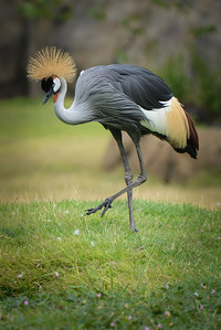 African Grey Crowned Crane