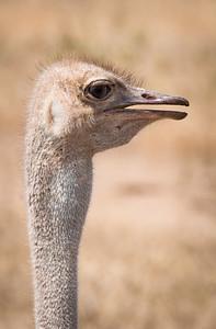 Ostrich 2017