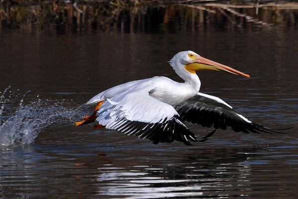 Pelican Liftoff