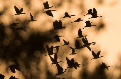 Flock - Glossy ibis