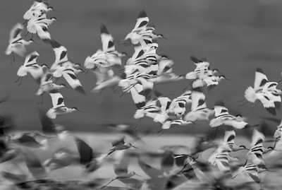 Flock.... in flight