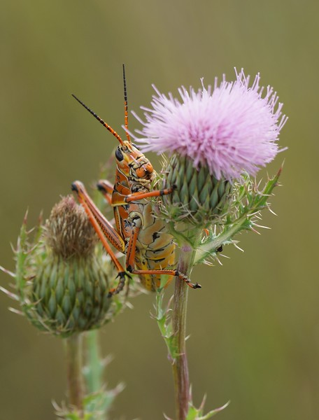 Lubber Grasshopper on thistle