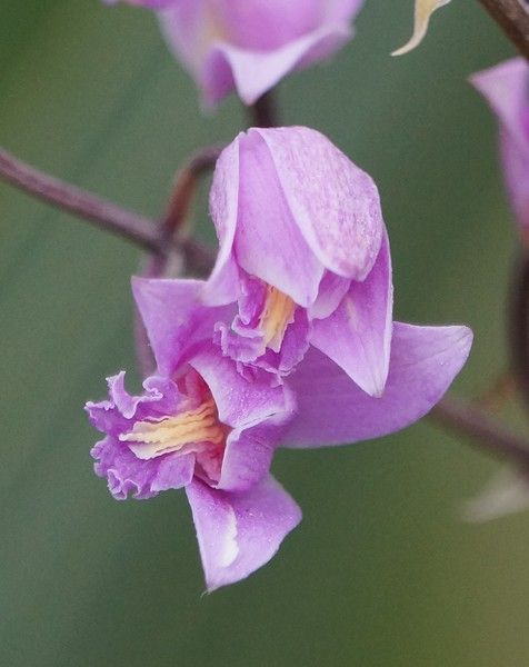 Pine Pink Orchid