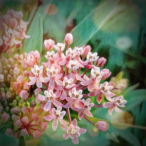 Flowering Milkweed
