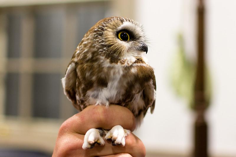 Saw Whet Owl Banding