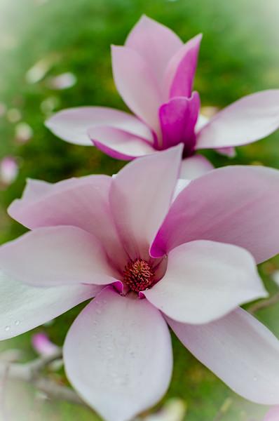 Magnolia Blossoms 1