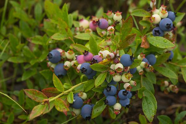 Sweet Lowbush Blueberry