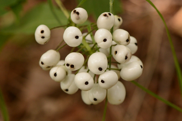 Red Baneberry