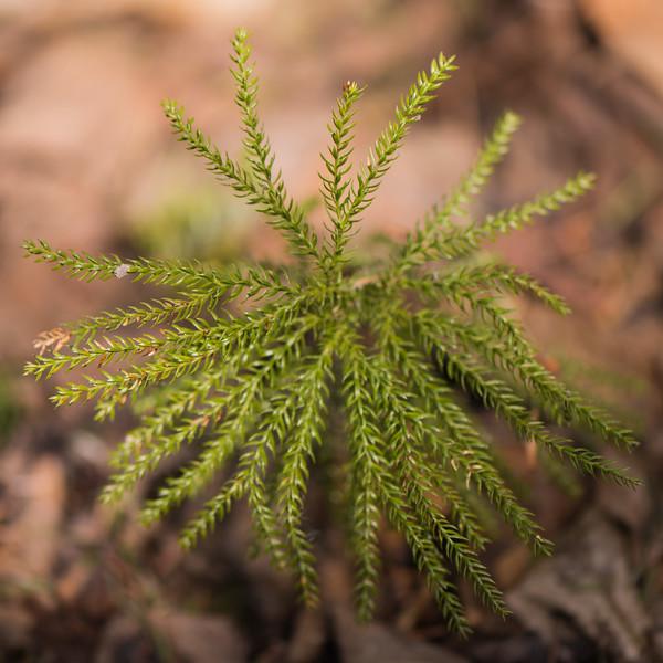 Round-branched Ground Pine