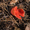 Scarlet Cup