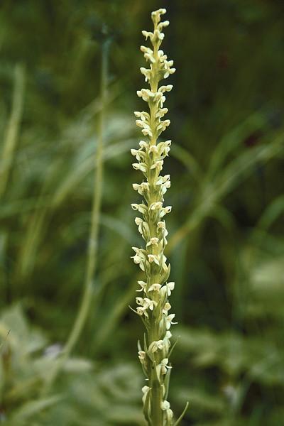 Northern Bog Orchid