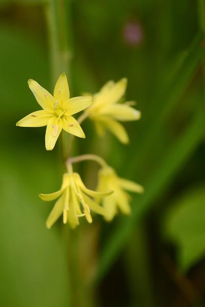 Blue-bead Lily