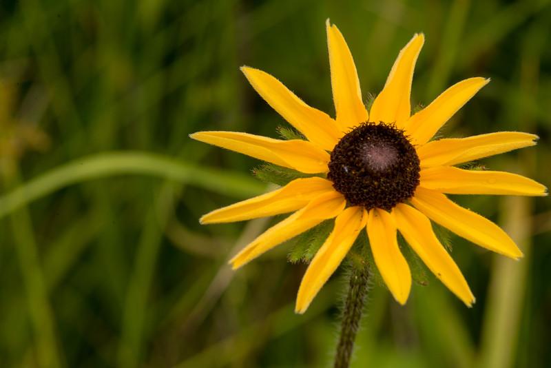 Stiff-haired Sunflower