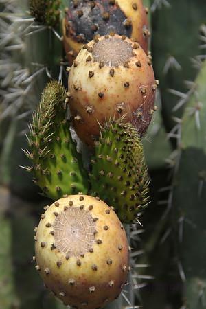 Tunas y Floras  (6)