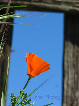 Waving Poppy