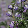 Lovely Lupine (5)