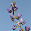 Lovely Lupine (4)