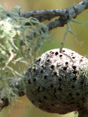 Gall Close Up