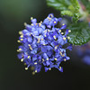 Ceanothus Hidden Secret I