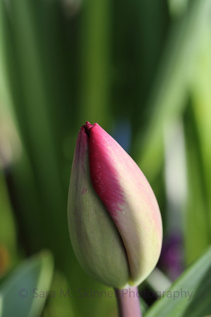 Tight Tulips  (5)