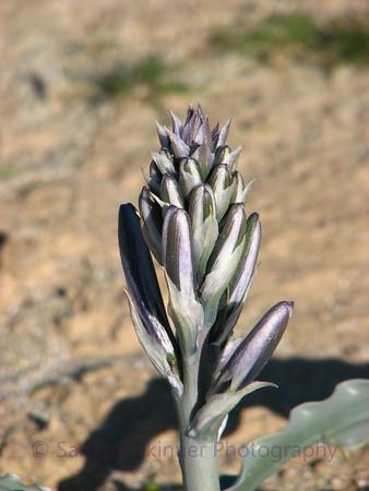 Desert Lily (1)
