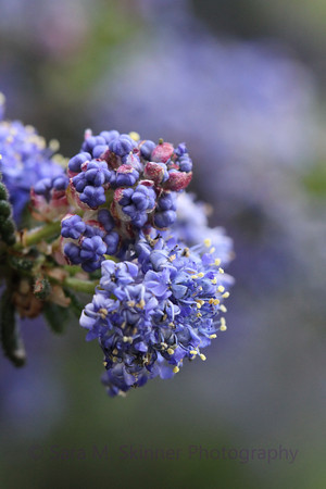 Ceanothus Hidden Secret III