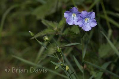 Perennial Flax