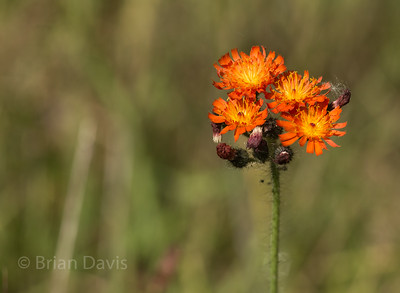 Orange Hawkweed (aka Fox and Cubs)