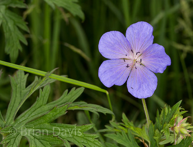 Meadow Cranesbill 2