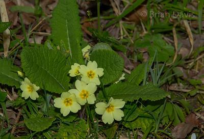 Primroses (Wild) 2