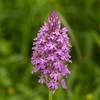 Pyramidal Orchid 2