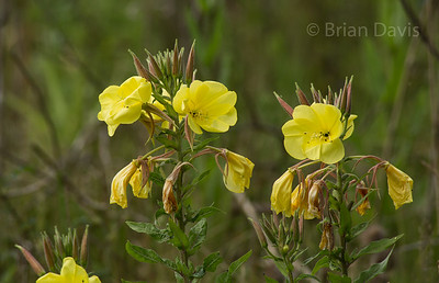 Large Flowered Evening Primrose 2