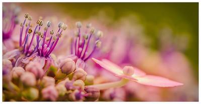 Purple Hortensia - Hydrangea detail