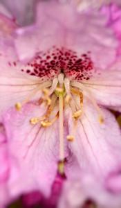 Rhododendron blossom centre