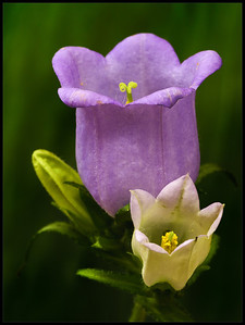 Campanulla blossom bluish purple decorative. Zvonek květ modrofialový dekorativní.