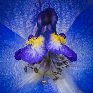 Delfinium blue flower