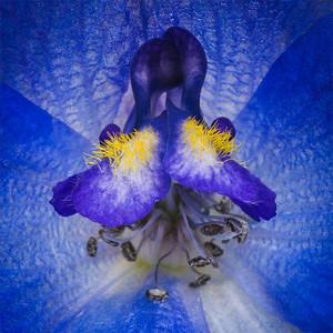 Delfinium blue flower