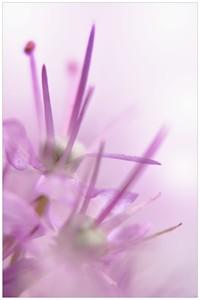 Garlic flower bloom decorative.