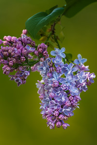 Lilac in bloom - Portrait