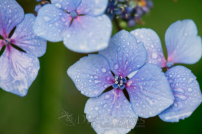 Hydrangea with dewdrops