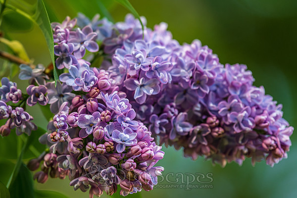 Lilac in Bloom - Landscape