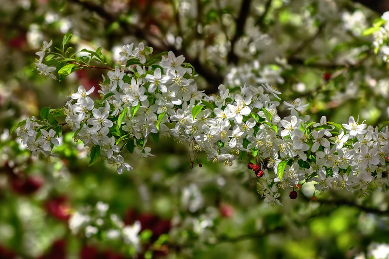 Crab Apple Blossom Explosion